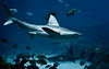 Sandbar Shark (mjkjr) Tags: blue atlanta 35mm ga georgia aquarium shark nikon underwater dof atl handheld georgiaaquarium nikkor f28 afs 2011 d90 oceanvoyager sandbarshark nikond90 clubsi 1202011 nikonf28 35mmf18g afsdxnikkor35mmf18g mjkjr httpwwwflickrcomphotosmjkjr