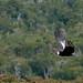 Ultimos vuelos del Cóndor en los bosques de Isla Riesco por José de Pablo