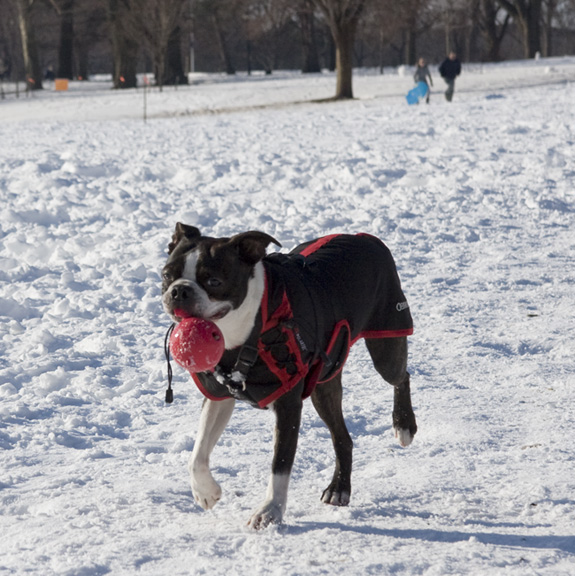 Boston Terrier in the snow