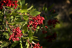 Hollywood Berry (Greg Balzer) Tags: berry hollywood heteromeles toyon