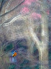 IMGP1346 (ken--) Tags: bird kingfisher yokohama kawasemi