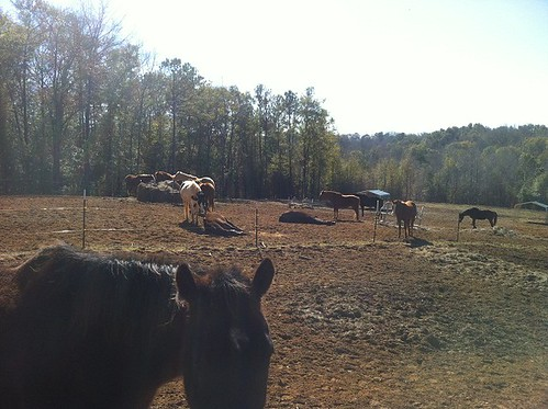 The Horses out to pature enjoying thier weekend off. Laying around is one of thier favorite past times.
