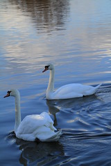 A Couple Of Swells (Chris*Bolton) Tags: nature water birds river pretty swans elegant wicklow soe arklow bej golddragon mywinners anawesomeshot citrit theperfectphotographer goldstaraward natureselegantshots