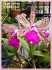 Cattleya amethystoglossa (Amethyst-lipped Cattleya)