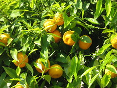 Ripe, luscious lemons growing in Italy (amazing_tina) Tags: italy plant tree italia lemons growing organic ripe lucious freshlemons naturallemons yellowlemons