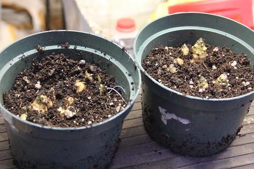 Sunchokes Planted