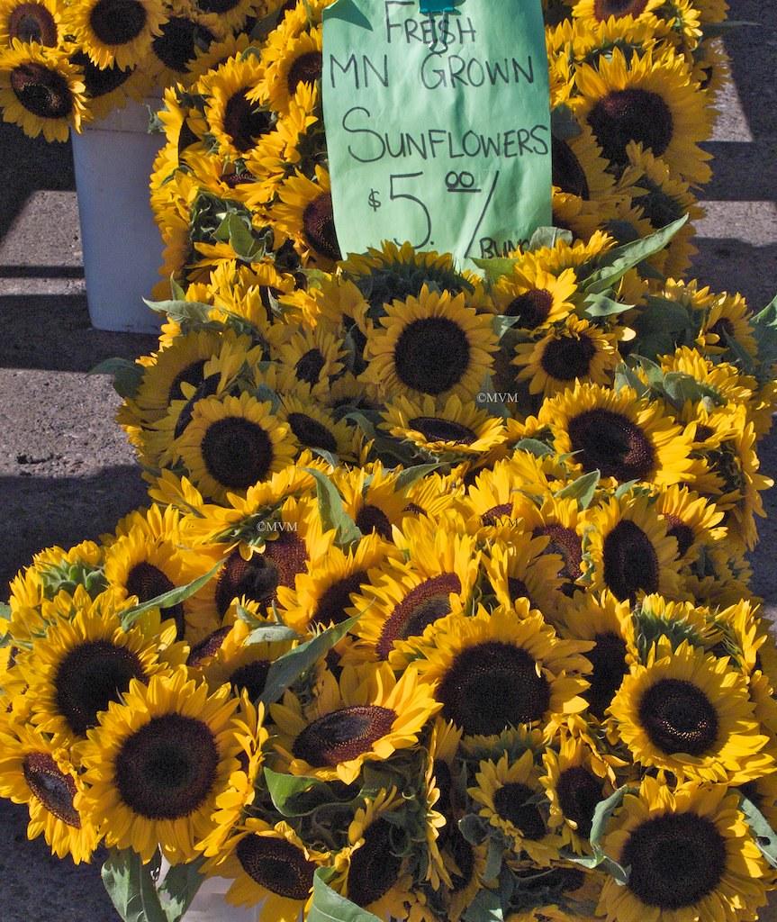Fresh Minnesota Sun Flowers