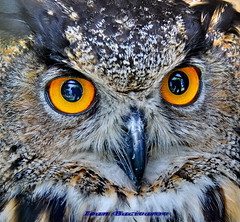 Eyes of owl (Ioan BACIVAROV Photography) Tags: blue black macro beautiful birds amazing eyes owl masterpiece excellence wow1 wow2 supershot excellentcomposition morethan1000views thewonderfulworldofbirds bestcapturesaoi mygearandme myge
