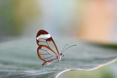 transparent butterfly (bugman11) Tags: macro nature animal animals fauna canon butterfly bug insect nederland thenetherlands butterflies insects bugs greatphotographers 70200mm28l frameit natureplus platinumheartaward friendoffriends naturesgreenpeace mygearandme mygearandmepremium mygearandmebronze mygearandmesilver mygearandmegold mygearandmeplatinum mygearandmediamond artistoftheyearlevel3 artistoftheyearlevel4 artistoftheyearlevel5 artistoftheyearlevel7 artistoftheyearlevel6 vigilantphotographersunite vpu2 vpu3 vpu4 vpu5 vpu6 vpu7 vpu8 vpu9 vpu10 frameitlevel3 frameitlevel2 frameitlevel4 frameitlevel5