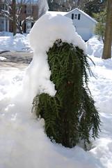 Snow on Shrubs