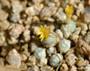 Conophytum pageae flowering (Martin_Heigan) Tags: camera flower macro nature yellow digital southafrica succulent nikon close martin photograph tiny flowering d200 dslr arid succulents cono aizoaceae suidafrika 60mmf28micro conophytum heigan pageae wsnbg mhsetsucculents 22january2011