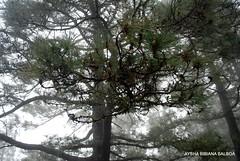 El  bosque mgico. (Aysha Bibiana Balboa) Tags: naturaleza lluvia rboles bosque monte pinos neblina frio gotasdeagua elbosqueencantado