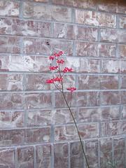Blooms of Coral Bells (patrick_standish) Tags: flowers red flower coral gardens bells garden colorado denver aurora bloom xeriscape blooms heuchera florals dartmouth perennial perennials blooming groundcover sanguinea