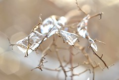 you've applied the pressure, to have me Crystalized (Kirsten Martinez Photography) Tags: winter plant cold ice frozen focus upclose