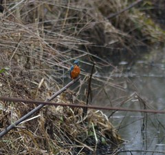 Kingfisher1 (GemElle Photography) Tags: blue wild tree green bird nature water grass wow spring amazing cool bed nikon branch beds wildlife branches elle bank kingfisher marsh splash banks gem fairburn fairburnings d3100 gemelle1