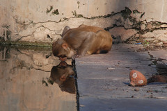 Drinking monkey    (  asaf pollak) Tags: old india reflection water monkey nikon drink north drinking structure pollack assaf rajasthan bundi       d80      asafpollak