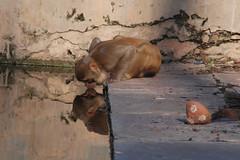 Drinking monkey  קוף שותה (אסף פולק asaf pollak) Tags: old india reflection water monkey nikon drink north drinking structure pollack assaf rajasthan bundi השתקפות צפון מים שותה הודו קוף d80 שתיה עתיק ניקון מבנה אסףפולק asafpollak רגאסטאן בונדי