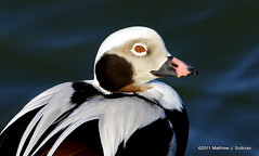 Oldsquaw (Longtailed Duck) (2) (Explored) (MattSullivan) Tags: park new light white black bird face duck newjersey state head beak feathers jersey waterfowl barnegat longtailed longtailedduck oldsquaw barnegatlightstatepark