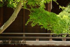 Un rable dans un sanctuaire (Pingouin  roulettes) Tags: geotagged shrine asie japon jpn kyto honsh kitanotenmangshrine sanctuairekitanotenmang
