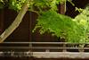 Un érable dans un sanctuaire (Pingouin à roulettes) Tags: geotagged shrine asie japon jpn kyōto honshū kitanotenmangūshrine sanctuairekitanotenmangū