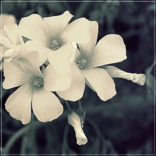 Collard greens flower