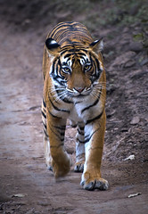 t39light (nabarun2011) Tags: cat tiger jungle rajasthan jungles t39 wildindia indianwildlife indiantiger tigersafari royalbengaltiger tigersighting tigersightinginthewild ranthabhorenationalpark popularindiannationalparks