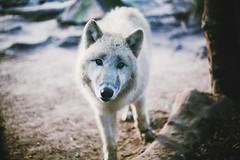 (marrw+) Tags: berlin canon germany 50mm zoo wolf 5d ilovehim 2011 ilovethisphoto canadianwolf kirstenberlie