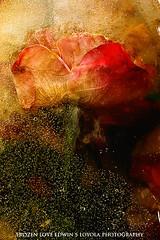 frozenLove94a (Edwin Loyola) Tags: flowers love ice rose frozen abstraction edwinloyola frozenlove
