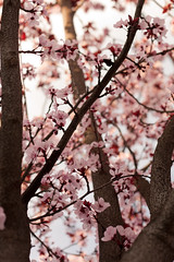All the way up (R Stanek) Tags: pink flowers trees plumtrees