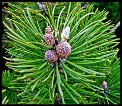 Cones (amanda 1975) Tags: bush cone hedge