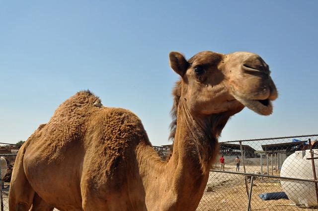 Camel souk-Doha-fev (6)