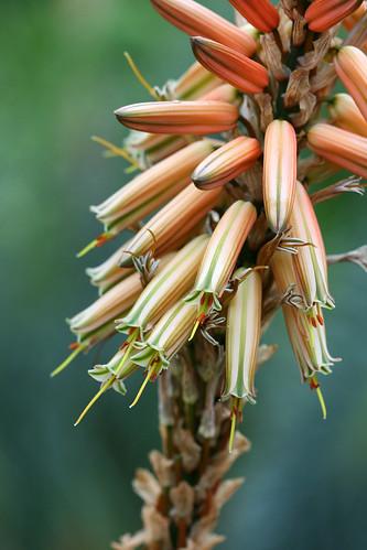 aloe vanbalenii flowers