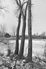 Winter Cottonwood-tree Trunks (thefisch1) Tags: solitude ominous creative treetrunk tranquil coldtemperature
