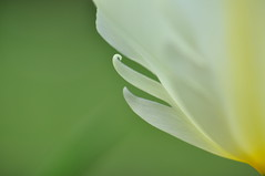 Kevade vrvid (anuwintschalek) Tags: white abstract detail macro green garden austria spring colours 85mm tulip april grn weiss garten niedersterreich 2010 frhling kodu tulpe aed tulp kevad wienerneustadt micronikkor roheline valge vrvid nikond90