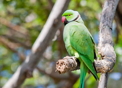 Rose-ringed Parakeet by Shawn McCready, on Flickr