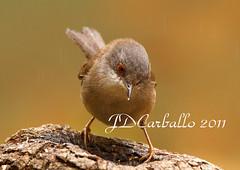 Curruca cabecinegra bajo la lluvia (jesue92) Tags: lluvia aves gotas ave pajaros pajaro comedero hembra sylviamelanocephala sylviidae currucacabecinegra