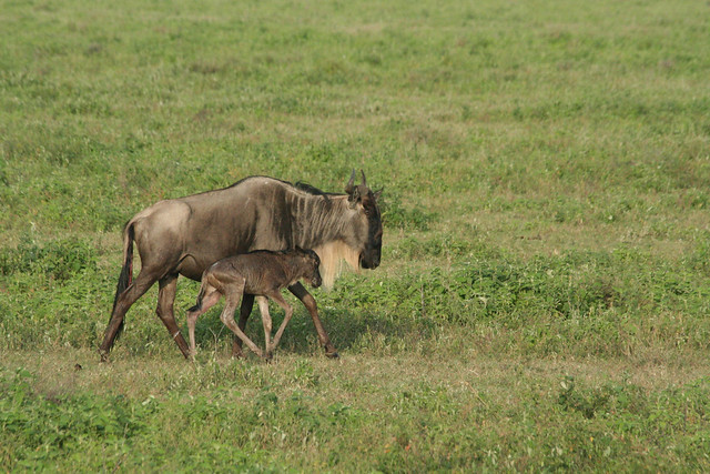 Wildie calf