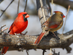 Northern Cardinal pair our state Bird in North Carolina (fazer53) Tags: red bird nature birds photography nikon cardinal wildlife photographers northcarolina explore carolina d200 ornithology asheboro northerncardinal randolphcounty archdale 70300mmvr photographersshowcase naturemasterclass glenola thewonderfulworldofbirds triadnorthcarolina fazer53