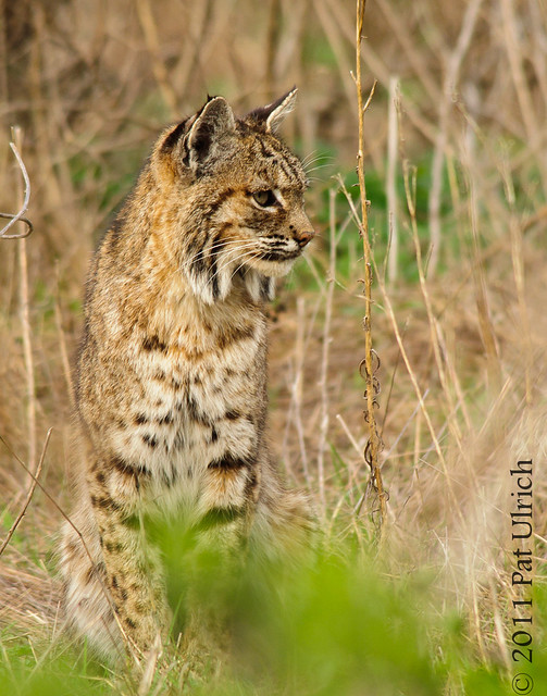 Bobcat stare - Pat Ulrich Wildlife Photography