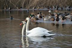 Zu zweit (ThomasKohler) Tags: winter lake bird ice see duck swan couple paar february ente eis schwan vogel februar mecklenburg stockente seenplatte mecklenburgische herrensee müritzsee mueritzsee