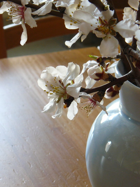 almond blossoms in the early afternoon