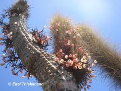 Tristerix aphyllus, quisco parasitado (Chilebosque) Tags: del quisco loranthaceae quintral tristerix aphyllus tristerixaphyllus parsitas