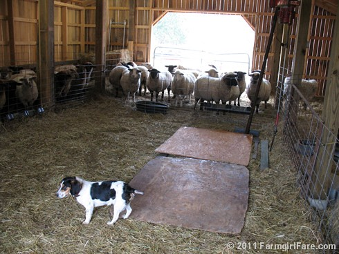 Bert on Sheep Shearing Day 7