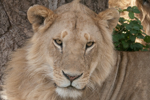 Hic svnt leones