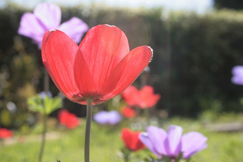 garden full of anemones