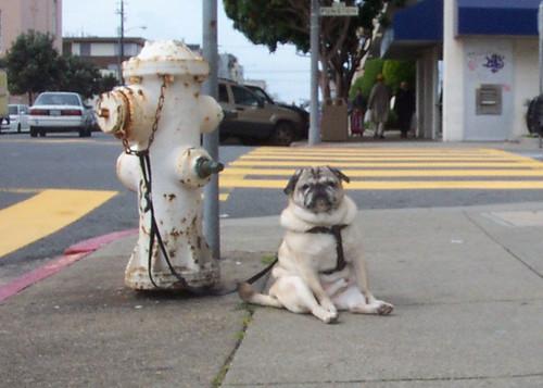 Pug Dog Kickin' Back in My Hood