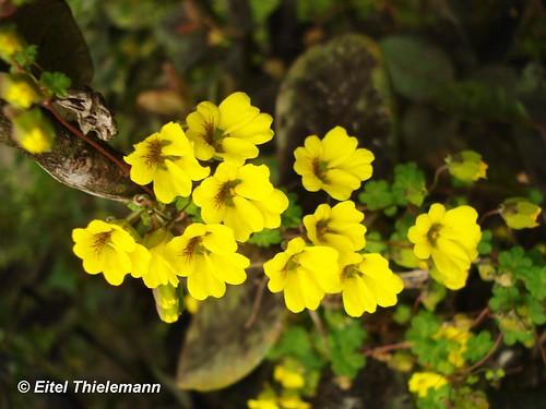 Malla florida (<i>Tropaeolum brachyceras)</i>, trepando una rama  en su hábitat, cuesta Las Chilcas, Región de Valparaíso.