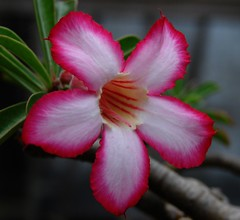 DESERT ROSE  #2 (3Point141) Tags: flower succulent florida tropical apocynaceae desertrose adeniumobesum 3point141