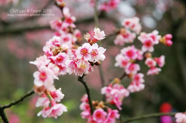 2011陽明山花季17.jpg