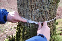 1.05m girth @ 25cm (thetreehunter) Tags: wood trees tree forest woodland oak ancient woodlands shropshire timber charcoal hazel ash yew herefordshire hereford forests beech hawthorn pollard ath atf coppice ellesmere chene pollarding coppicing frene robmcbride treehunter moccas woodfuel thetreehunter ancienttreehunt ancienttreeforum thetreehunter robmcbride moccaspark